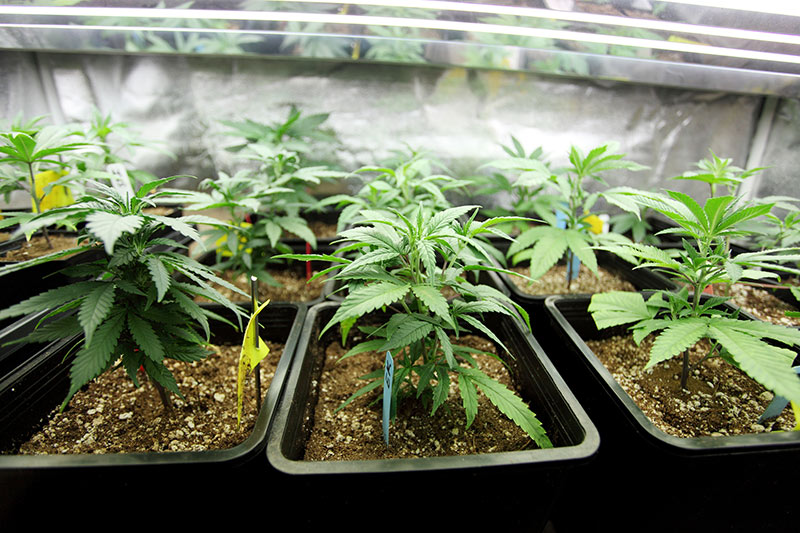 marijuana therapy