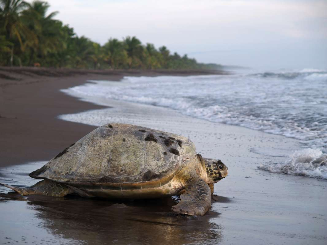 Summer Program - Animal Rights and Rescue   Travel For Teens: Costa Rica Sea Turtle Service and Adventure